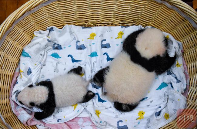 萌翻了!今年出生8只熊猫幼崽首次同框留影